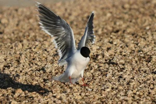 """有缘千里来相聚—康巴诺尔湖发现一只国内少见的二级保护动物""""小鸥"""""""
